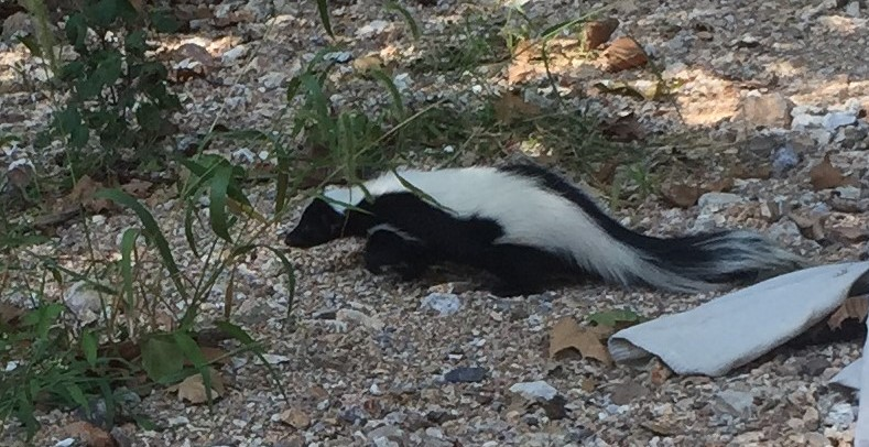 Stripped Skunk removal