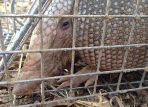 Humane trapping for armadillo control