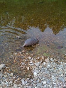 Armadillos are strong swimmers