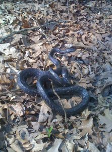 Western Rat Snake (common Black Rat Snake)