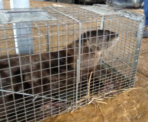 Nuisance River Otter trapping
