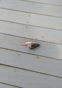 Otters leave fish head on docks