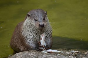 Otters prefer to eat fish