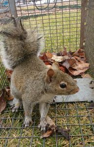 Nuisance gray squirrel