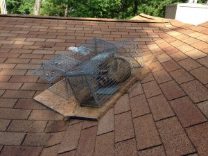 raccoon trapped out of attic