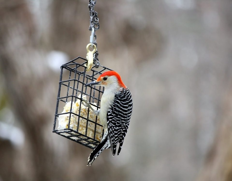 Using Feeding Stations and Other Methods to Prevent Woodpecker Damage