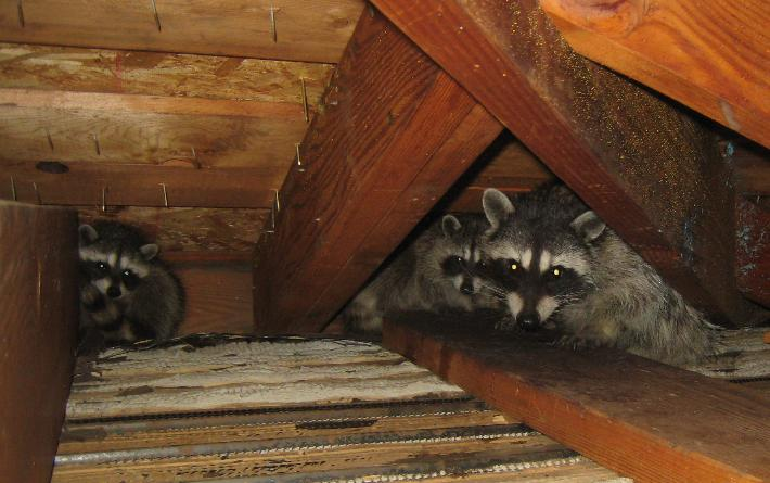 Raccoon family living in attic
