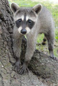 Adair's Baby Raccoons