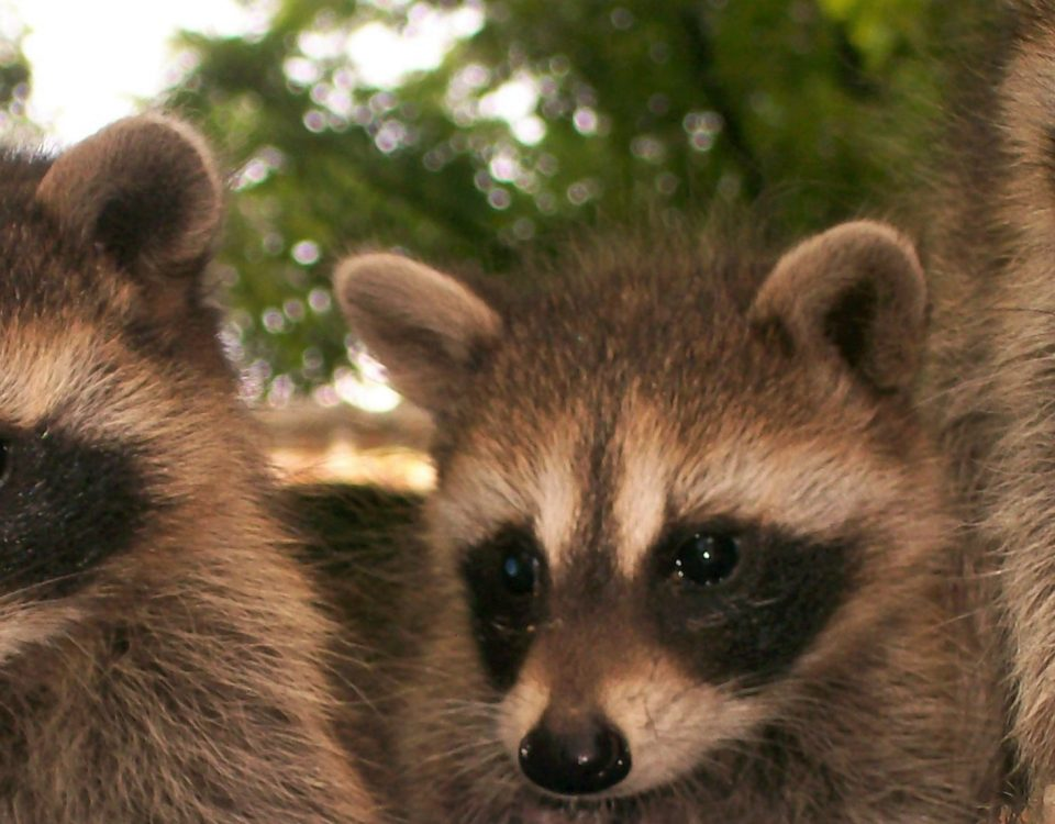 Little Rascals - Time for Baby Raccoons