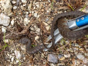 Northern Water Snake; Banded Watersnake; Common Water Snake