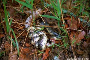 black snake eating copperhead venomous snake
