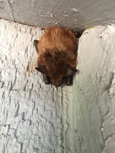 little brown bat removal Camdenton, MO